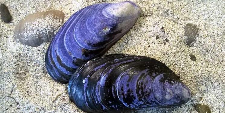 آلودگی صوتی دریاها به صدف های دریایی آسیب می زند